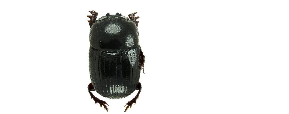 Posible nuevo escarabajo para la Ciencia