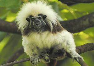 El mono tití cabeciblanco que habita los bosques del noroccidente colombiano. Foto: AFP