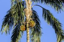 El Chontaduro  (Bactris gasipaes - es el nombre de la especie), es una planta y fruto de gran importancia como activo BioCultural para Colombia