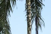 Nido colgante: largo y en forma de lágrima del Ave conocida como Mochilero u Oropéndola, protector para algunas comunidades del fruto