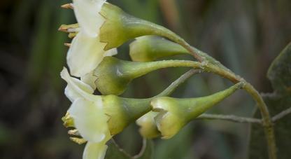 Elaeagia, nueva especie